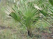Co to jest Saw Palmetto Extract?